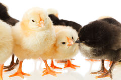 Baby chicken on white royalty free stock image