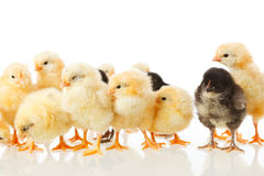 Baby chicken on white stock images