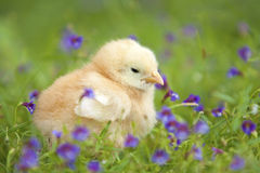 Baby chicken3 Stock Image