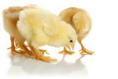 Free Baby Chickens Stock Photos - 13166913
