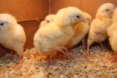 Baby chickens. Young Chicks that just hatched Royalty Free Stock Photography