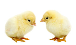 Baby Chickens Stock Image