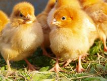 Baby Chickens. One week old baby chickens Stock Image