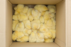 Baby chickens. In cardboard box Royalty Free Stock Images