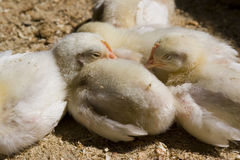 Baby Chickens. Sleeping in the sun stock photos