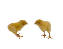 Baby Chickens. 2 Baby Chickens Isolated on White royalty free stock photo