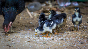 Baby chickens. Affection affectionate animals babies chickens chicks cute farm friends friendship group juvenile nature of pets soft softness Stock Photo