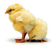 Baby Chickens Chicks. Two baby chickens on a white background stock image