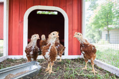 Baby Chickens in a Coop Stock Image