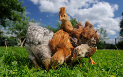 Baby Chickens Eating from the Ground royalty free stock photo
