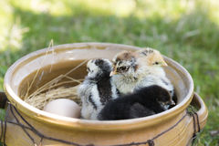 Baby chickens and eggs Stock Image