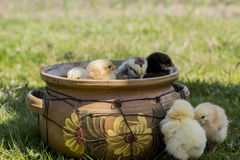 Baby chickens and eggs Royalty Free Stock Photo