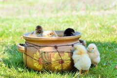Baby chickens and eggs Stock Photography
