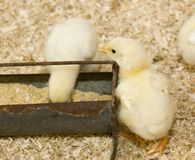 Baby chickens at feeding trough Royalty Free Stock Image
