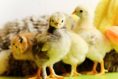 Baby chickens. Among fluffy toys royalty free stock photography