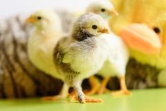 Baby chickens. Among fluffy toys stock image
