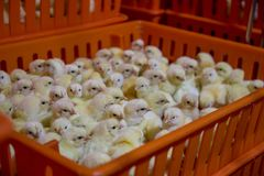 Baby Chickens just born on tray, stock photography