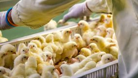 Baby Chickens just born on tray. Poultry Business. chicken farm business with high farming and using technology on farming on Selecting chicken gender process royalty free stock photography