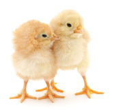 Baby chickens. Stock Photos