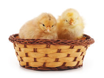 Baby chickens. Royalty Free Stock Photography