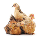 Baby chickens. Royalty Free Stock Image