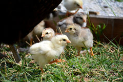 Baby Chickens Royalty Free Stock Images