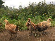 Baby Chickens on Top of Hill Overlooking Hanalei Valley during Rain on Kauai Island, Hawaii. Baby Chickens on Top of Hill Overlooking Hanalei Valley during Rain royalty free stock photography