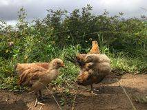 Baby Chickens on Top of Hill Overlooking Hanalei Valley during Rain on Kauai Island, Hawaii. Baby Chickens on Top of Hill Overlooking Hanalei Valley during Rain royalty free stock images