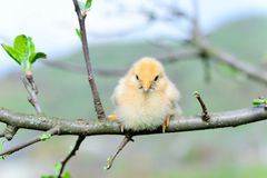 Baby chickens. In the tree stock image