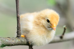 Baby chickens. In the tree royalty free stock images