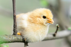 Baby chickens. In the tree royalty free stock image