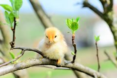 Baby chickens. In the tree royalty free stock photos