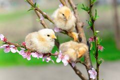 Baby chickens Royalty Free Stock Photos