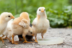 Baby chickens. Water drinking on dish royalty free stock photos
