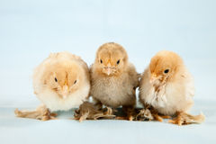 Baby chicks. Three cute little baby chickens sitting on a light blue background royalty free stock photography