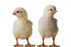 Baby chicks Stock Photos