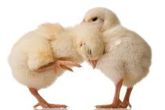 Baby chicks Royalty Free Stock Photo