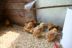 Baby Chicks Royalty Free Stock Image