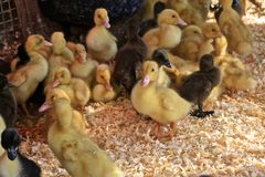 Baby chicks. Adorable yellow and black furry baby duck chicks in heated farm royalty free stock images