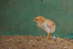Baby chicks royalty free stock photo