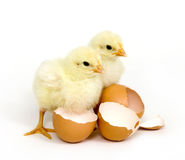 Baby chicks and brown eggs Royalty Free Stock Photos