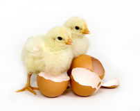 Baby chicks and brown eggs Stock Image