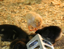 Baby Chicks and Ducklings Royalty Free Stock Photo