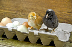 Baby chicks in egg carton Royalty Free Stock Images
