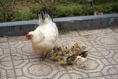 Baby chicks gather around a mother hen on tile sidewalk. Baby chicks cluster around a mother hen on a tile sidewalk in an urban city environment stock images