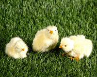 Baby chicks in the grass Royalty Free Stock Photography