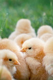 Baby Chicks Stock Photos