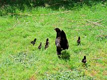 Baby chicks and mother hen. These baby chicks and mother hen run for cover as people start coming into their territory royalty free stock photos
