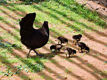 Baby chicks with mother hen Stock Photography