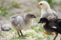 Baby chicks Royalty Free Stock Images